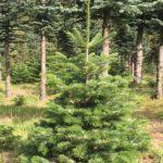 Tannenbaum, Weihnachtsbaum, Adventskranz, Gestecke, Schnittgrün, Nobilis, Nordmann, Winterberg, Altastenberg