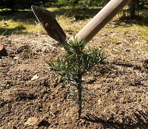 Neue Tannen bei der Christbaumfarm