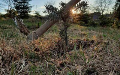 Neue Pflanzen bei der Christbaumfarm